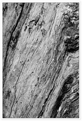 Vieil arbre en N&B